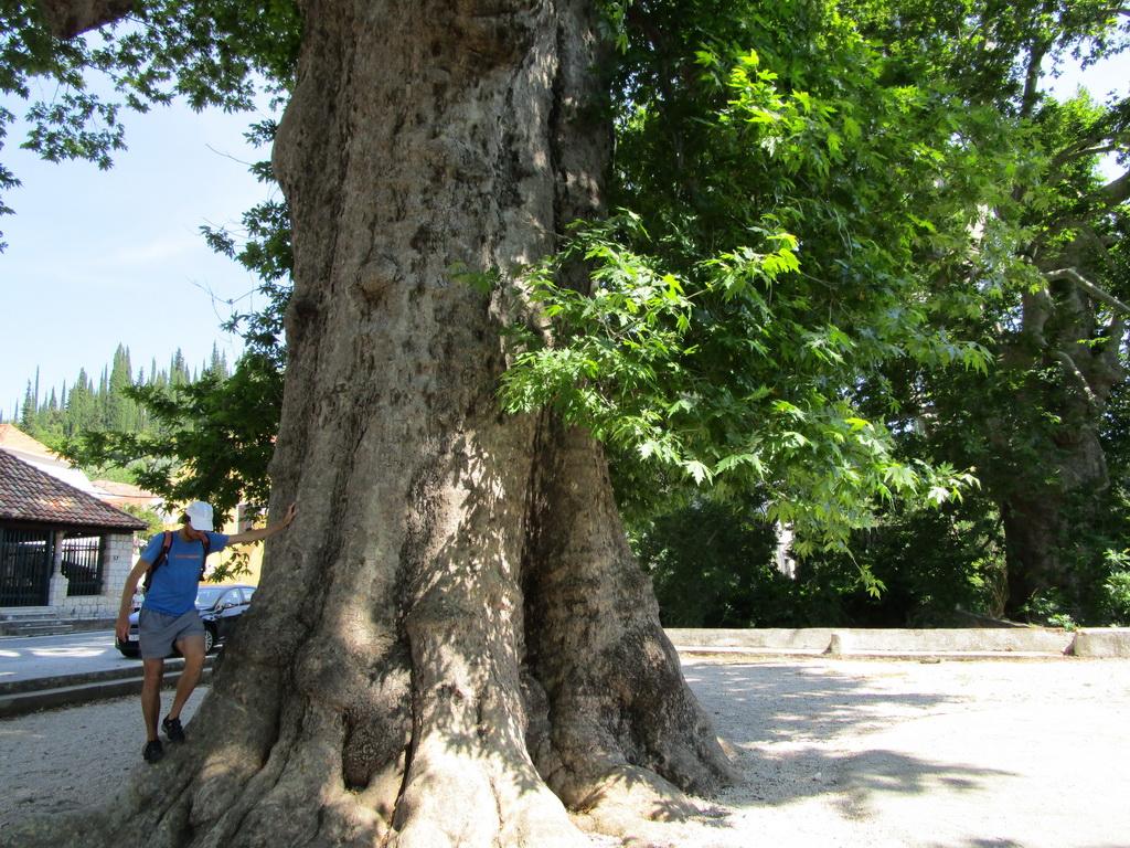 zatiaľ_najväčší_strom_aký_som_videl_naživo
